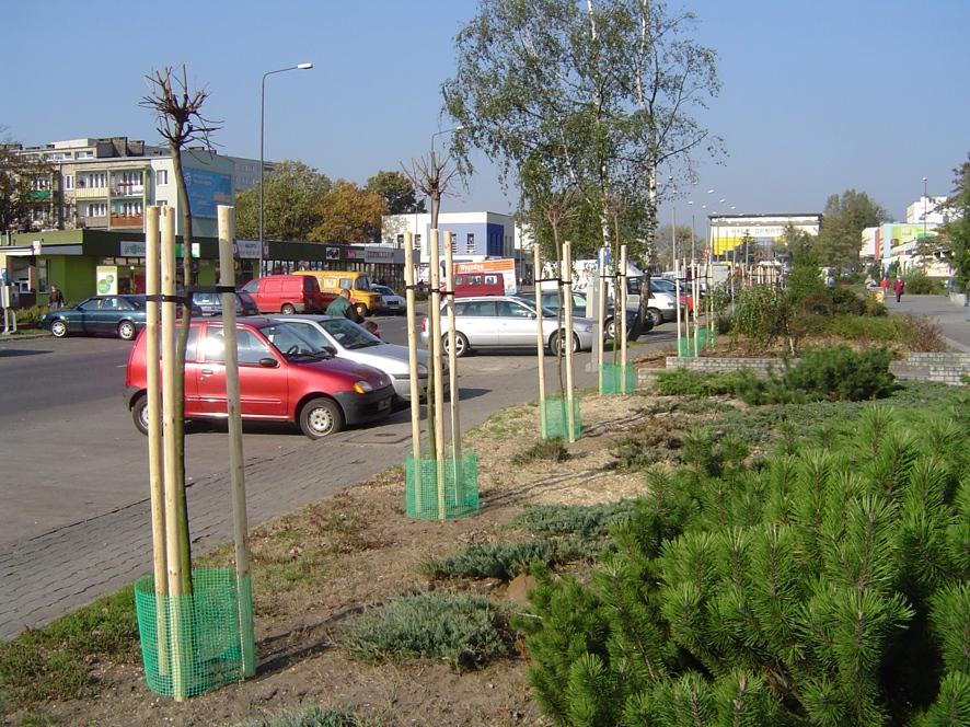 Nowo posadzone klony wzdłuż parkingu przy ul. Wojska Polskiego